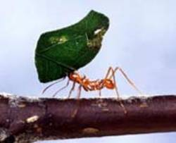 Ant_with_leaf